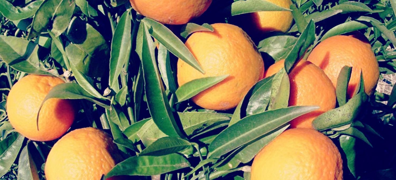 Mandarines I Taronges: Per Tots és Conegut La Gran Quantitat De Vitamina C Que Conté I Que és Essencial Per A Les Defenses De L'organisme
