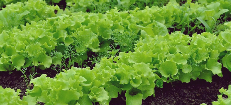 Encuentran Restos De Pesticidas En El 80,65% De Lechugas, Escarolas Y Rúcula De Supermercados Franceses
